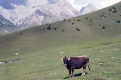Vaca curiosa en Ata National Park kirguizio fotografía de archivo