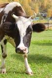Vaca curiosa en fondo rústico Fotos de archivo