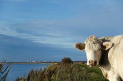 Vaca curiosa en la costa Fotografía de archivo libre de regalías