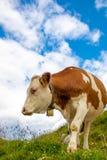 Vaca curiosa en las montañas austríacas con el cielo nublado fotografía de archivo libre de regalías