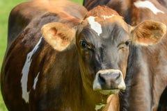 Vaca curiosa en un pasto Imagenes de archivo