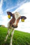 Vaca curiosa linda del bebé Imágenes de archivo libres de regalías