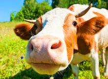 Vaca curiosa no prado Imagem de Stock Royalty Free