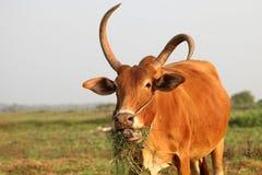 Vaca curiosa que come a grama no campo Fotografia de Stock Royalty Free