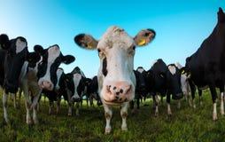 Vaca curiosa que mira in camera foto de archivo libre de regalías