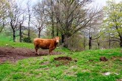 vaca curiosa que pasta em montes italianos Fotografia de Stock Royalty Free