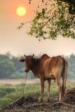 Vaca da boa noite! Foto de Stock Royalty Free