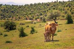 Vaca da matriz e do bebê fotografia de stock