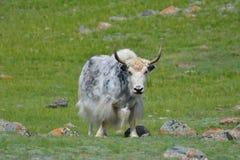 Vaca da montanha dos iaques Imagem de Stock Royalty Free