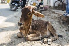 Vaca da vitela da caminhada Foto de Stock Royalty Free