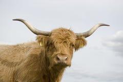 Vaca das montanhas Fotos de Stock