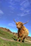 Vaca das montanhas Imagens de Stock
