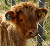 Vaca das montanhas Imagem de Stock Royalty Free