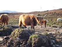 Vaca das montanhas Fotos de Stock Royalty Free