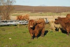 Vaca das montanhas Fotografia de Stock