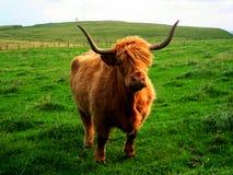 Vaca das montanhas (Escócia, Reino Unido) Fotografia de Stock Royalty Free