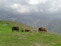 Vaca das montanhas no prado verde fotos de stock