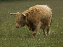 Vaca das montanhas que está no campo Foto de Stock