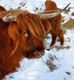 Vaca das montanhas que olha a câmera Foto de Stock Royalty Free