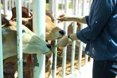 Vaca de alimentación de la mujer con el heno Fotos de archivo