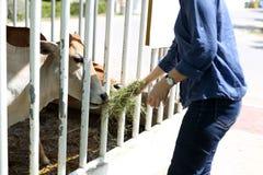 Vaca de alimentación de la mujer con el heno Imágenes de archivo libres de regalías