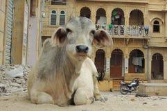 Vaca de assento na frente da casa indiana Imagens de Stock Royalty Free