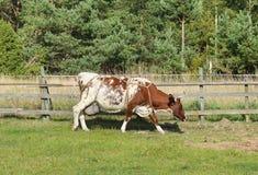Vaca de Ayrshire Imagen de archivo libre de regalías