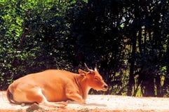 Vaca de Banteng que descansa en parque zoológico Imagen de archivo libre de regalías