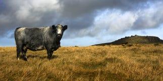 Vaca de Bodmin fotografía de archivo