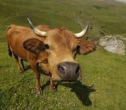 Vaca de Brown imagem de stock royalty free