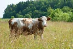 Vaca de Brown Imágenes de archivo libres de regalías