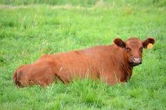 Vaca de Brown Foto de archivo libre de regalías