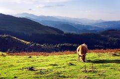 Vaca de Brown Fotos de archivo libres de regalías