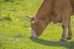 Vaca de Brown com o chifre na pastagem Imagem de Stock Royalty Free