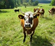 Vaca de Brown con el bozal blanco Imagen de archivo libre de regalías