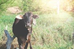 Vaca de Brown en campo Fotos de archivo