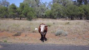 Vaca de Brown en el borde de la carretera metrajes