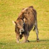 Vaca de Brown en un prado Imágenes de archivo libres de regalías