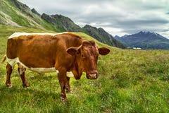 A vaca de Brown está em pastos verdes frescos da montanha no prado alpino no dia de verão Fotografia de Stock Royalty Free