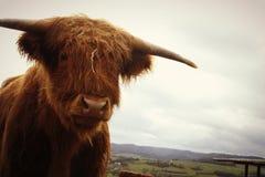 Vaca de Brown na grama verde fotografia de stock royalty free