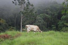 Vaca de Brown no campo verde Foto de Stock Royalty Free