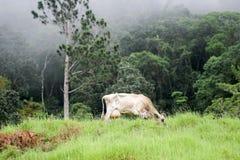 Vaca de Brown no campo verde Imagem de Stock Royalty Free