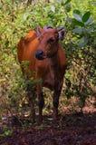 Vaca de Brown no meio das ervas daninhas Fotos de Stock