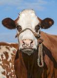Vaca de Brown que mira fijamente debajo del cielo azul Foto de archivo libre de regalías