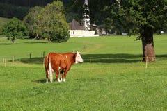 Vaca de Bwown en el fondo del campo Fotografía de archivo
