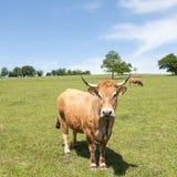 Vaca de carne de Parthenais que está lateralmente em um pasto imagens de stock royalty free
