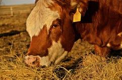 Vaca de carne vermelha de Angus Fotografia de Stock Royalty Free