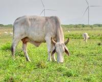 Vaca de Cebú Imagenes de archivo