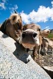 Vaca de Courious - lente larga do ângulo Fotografia de Stock Royalty Free