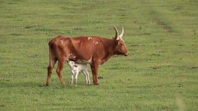 Vaca de cuernos larga de Tejas que cuida un becerro blanco almacen de video